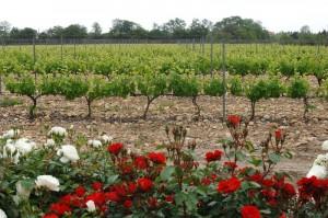 Rière-Cadène-vigne-fleur2©civr